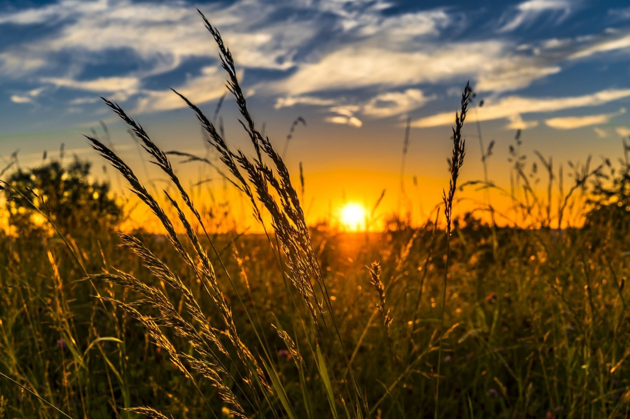 wheat-2391348_1920